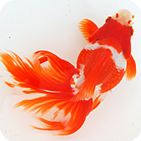 日本金魚図鑑 -Japanese goldfish-