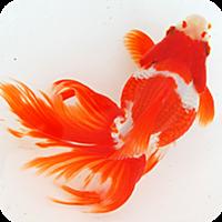 日本金魚図鑑 -Japanese goldfish-