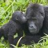 ヒガシゴリラ 最新レッドリストで「絶滅寸前」に 私たちがヒト科の動物について知っておきたいこと