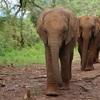 生息数が減り続けるゾウ 相変わらずひどい密猟の実態と「パークレンジャー」たちの活躍