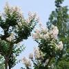 栃の木を植える 栃の実の思い出