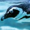 とりにく をつつく 青ペンギン