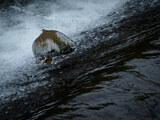 川を遡上中のサクラマスのジャンプを撮影【札幌市内・琴似発寒川】