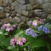 色づく紫陽花、高瀬川にて。