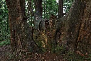 幻想の森と戸沢・最上の巨樹・巨木撮影ツアー【最終募集中】