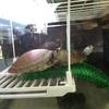 【サバンナヨコクビガメ】子亀のうちはパンダみたいでかわいい(動画で検証)