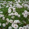 【雑草対策】夏の厄介な雑草を防ぐグラウンドカバープランツ10選
