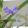 ムラサキツユクサの花