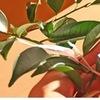 上代は「常磐木」を意味した神事に欠かせない「栄える木」,榊 賢木 さかき / 万葉集 ひさかたの あまのはらよりあれきたる,かみのいのち(みこと),おくやまの さかきのえだに,しらかつけ,---坂上郎女(さかのうえのいらつめ)