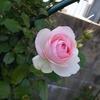 バラの葉にたくさんの た・ま・ごがぁ…