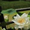宇治市植物公園「ハスとトンボ」