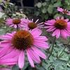 エキナセアのルビー スター、見事な秋の返り咲き