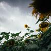 美しい花 #2 向日葵