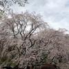 桜とイライラ~よかったブログ284日目~