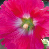 今日の誕生花「タチアオイ=ホリホック」「この紋所が目に入らぬか」の葵の御紋!
