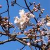 桜咲きました!外濠公園~北の丸公園~千鳥ヶ淵緑道~靖国神社周辺