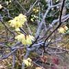 春を彩る黄色三種