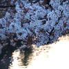 昨日の小石川夕桜