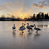 【冬の岩手】紫波町・五郎沼で白鳥と戯れてきた!