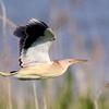 印旛沼を元気に飛ぶヨシゴイ