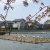 瓢湖の白鳥と桜-2011年春(新潟県阿賀野市)