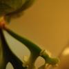 久しぶりにマウントキッチャクードから胞子葉が出てきた