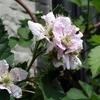 ブラックベリーの花 2014 5月
