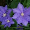テッセンの花が咲いていた