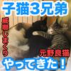 我が家に子猫3兄弟がやってきた!【元野良猫】我が家の猫が3匹から6匹に!威嚇が凄い!
