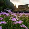 京都・久多 - 北山友禅菊咲く久多の山里