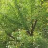 梅の実 ブルーベリーの実とジュース 掃除 ノカンゾウ