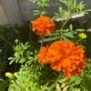 2色の花が咲いてきた!