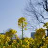 3月上旬は浜離宮恩賜庭園の「菜の花」が見頃!花粉に負けずに是非外出してほしい!