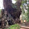 【神社】熱海のパワースポット・来宮神社で大クスを見る。ハイカラな神社ですね。