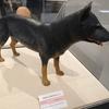 縄文犬(アイヌ犬)大人しくて力強くて賢い 縄文の人々のライフパートナー 【福島県立博物館】