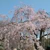 【思い出日記 桜見物】