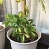 シェフレラの脇芽の成長具合について2