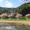 みなみの桜と菜の花まつり(南伊豆町)