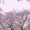 🌸桜と雪❄️