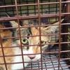 鈴蘭台で捕獲した猫 TNRします。