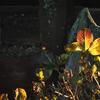 Nikonのデジイチ「D3000」で2017年1月7日までに撮影した写真です。「コウバイ(紅梅)」が開花しました