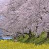 【奈良】春爛漫🌸桜と菜の花の絶景 藤原宮跡