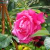 2013/05/17 どうやらウチの庭で咲いている名前が不明だったバラはパローレのようだ!!