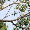 秋の渡りが始まっているようです(大阪城野鳥探鳥 2015/08/11 4:50-8:35)