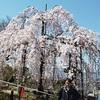 清水寺の桜2020、外国人観光客が少なく混雑緩和。