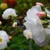 白いバラ、探そ