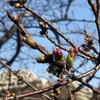 これは…週末咲きますね 桜開花情報@外濠公園