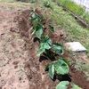 近隣の畑で土寄せしている人がいたから、当菜園でのサトイモの土寄せ