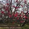 本日が見頃か 梅が丘の羽根木公園の梅まつり