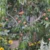 桃とヒゲナデシコ
